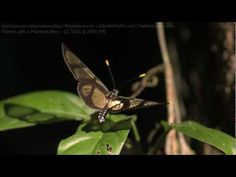 Clearwing Butterfly in the Amazon, Slow Motion HD
