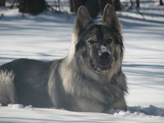 alaskan malamute german shepherd mix | Dog profile for Samson, a male German Shepherd/Alaskan Malamute