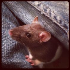 Cute rat baby