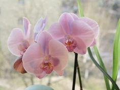 Light pink Phalaenopsis / Orchid.