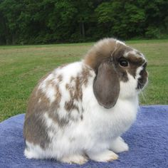 Holland Lop smallest lop breed are often mistaken as Mini Lop.  They are common fit in show rabbit due to small sizes, but are expensive  to buy.