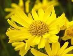 Arnica montana: Herbal remedy to ease fibromyalgia pain