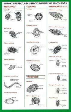 Identify helminth eggs