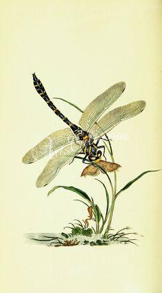 184-oryssus, pepsis, pompilus, pronoeus, larra, synagris, odynerus      ...