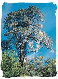 The Yellow-Wood tree - South African National Symbols, National Symbols of South Africa African Tree, African Plants, South Africa Tours, African Symbols, National Symbols, Evergreen Trees, Wood Tree, Most Beautiful Flowers, True Nature