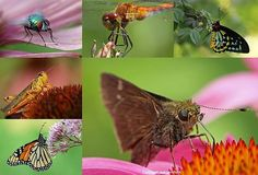 Incredible insect macro photography artwork collage containing six examples of bug close up images, like grasshopper, moth, monarch butterfly, green bottle fly, Yellow-Legged Meadowhawk dragonfly. Photographs taken in beautiful New England and Florida >>> www.RothGalleries.com