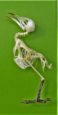 Uncommon Javan Munia Lonchura leucogastroides Skeleton FAST FROM USA