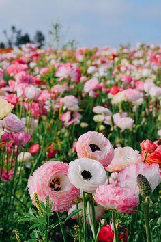 carlsbad flower fiel