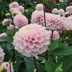 Flower Gardening For Beginners Dahlia 'Wizard Of Oz' - Cut Flower Garden, Pink Garden, Flower Farm, Dream Garden, My Flower, Flower Gardening, Flower Words, Dahlia Flowers, Garden Inspiration