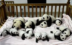 Fourteen panda cubs at the Giant Panda Breeding and Research Base in Chengdu, China. picture:AP