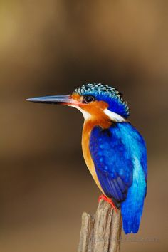 Corythornis vintsioides - zimorodek czarnodzioby - Madagascar Malachite Kingfisher