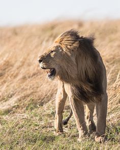 Witness The Big stay in luxury accomodation, explore Kruger National Park and more. Kruger National Park, National Parks, The Lion Sleeps Tonight, Lion Pride, Game Reserve, Creature Comforts, Hyena, Nature Reserve, Endangered Species