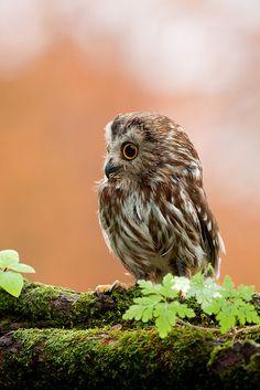 Tiny Saw-Whet Owl