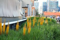 66 Square Feet: The High Line in June Eremurus stenophyllus