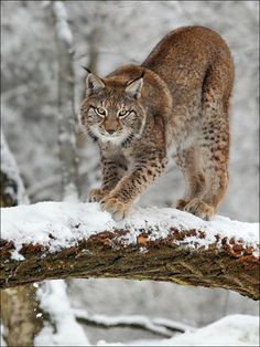 Lynx by Norbert Kappenstein – Animal Kingdom Big Cats, Cool Cats, Cats And Kittens, Beautiful Cats, Animals Beautiful, Beautiful Pictures, Lynx Du Canada, Lynx Boréal, Animals And Pets