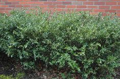 Sarcococca confusa, VERY fragrant in winter. Grows in deep shade.