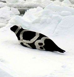 Ribbon seals' unique coloring patterns– always featuring four large, white markings
