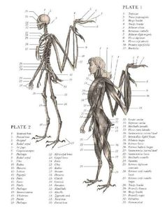 Angel Skeleton And Muscle Gross Anatomy Mythical Creatures Art, Mythological Creatures, Magical Creatures, Anatomy Drawing, Anatomy Art, Animal Anatomy, Wings Drawing, Wow Art, Creature Concept