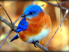 Bluebirds of nc | Eastern Bluebird--(my backyard buddies)