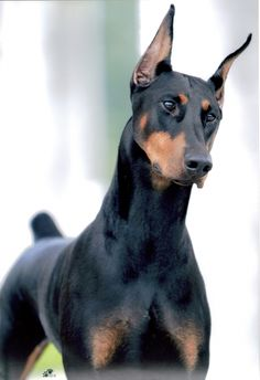 To have a doberman by my side.
