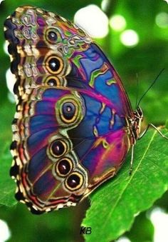 Rainbow colours point to Adonai's promise Butterfly Painting, Butterfly Watercolor, Butterfly Wallpaper, Butterfly Art, Butterfly Video, Butterfly Pictures, Butterfly Kisses, Most Beautiful Butterfly, Beautiful Bugs