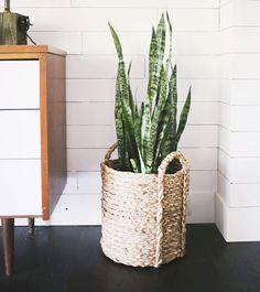 「虎尾蘭」 耐旱耐陰的特性,不愛潮濕,半個月給水一次就可以活得很好。全天候釋放氧氣的特性有效降低室內二氧化碳濃度;還具備除氨臭功能,特別適合擺在廁所。