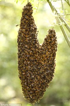 Honey Bees hanging from a tree branch creating a heart via mailonline