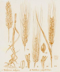 Barley and Wheat Botanical Drawing, painted using beer