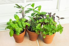 How to Grow Herbs Indoors. this tells you how to do it step by step. I'm going  to try it.