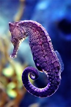 Beautiful sea horses! Unlike most sea creatures, sea horses are monogamous for life and are the only species on earth in which the male carry the unborn young. SWEET!