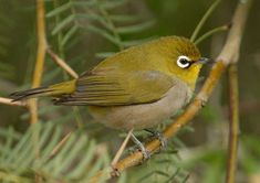 Cape white-eye (Zosterops). Raised one as a tiny baby that had fallen out of the next. They are affectionate and adorable.