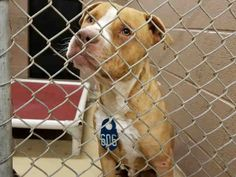 HIGH KILL HOUSTON, TEXAS -FOSTER's NEEDED!!!! ID#A459107 My name is FLYING J  I am a male, brown & white Pit Bull Terrier. My age is unknown. I have been at the shelter since May 16, 2016.