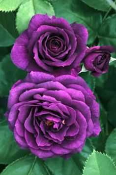 Ebb Tide Rose Bush - Spicy Clove Fragrance, want this for the garden All Flowers, My Flower, Pretty Flowers, Fresh Flowers, Ronsard Rose, Roses Only, Coming Up Roses, Love Garden, Purple Garden