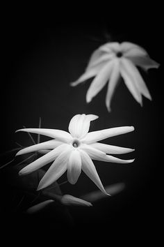 Jasmine Flowers Black & White photograph by C.Stefan (ArtStudio29) #jasmine #floral #flora #flower #artstudio29 #closeup #b&w #blackandwhite #photograph #prints #greetingcards