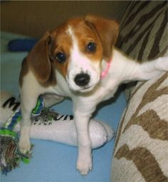 Jack-A-Bee (Jack Russell Terrier X Beagle).  My puppy looks exactly like this except he is almost a year old.