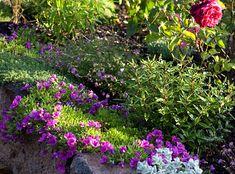 Purple-calibrachoa, furry oregano, parahebe, thyme, and brachyscome.