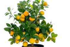 Orangenbaum Pflege Wohnung