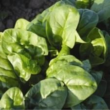 (2014) Organic Dolce Vita F-1 Spinach Seeds