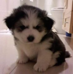 I'm 5 wks old, and I JUST WOKE UP! Kobe Beefie is my puppy's full name. He is a Maltese Husky mix. Maltese have been my dream dog; I had always wanted one, but ever since this I laid eyes