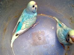 parakeet colors |  Rare color blue spangle ...
