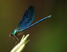 dragonfly dragonflies insect animal wild nature 11 The Beauty Behind the Ancient Dragonfly