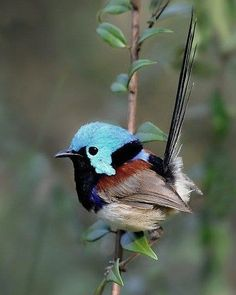 Variegated Fairy-wren by Dizzyheights, cool little bird, tiny bird, reminds me of a hummingbird (I love these little birds! Kinds Of Birds, All Birds, Cute Birds, Pretty Birds, Little Birds, Beautiful Birds, Animals Beautiful, Cute Animals, Angry Birds