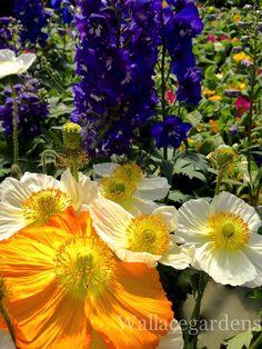 The deer proof flower garden: delphiniums and Icelandic poppies