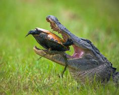 Este caimán pasó horas tratando de romper el caparazón de esta tortuga. Eventualmente, se aburrió en su intento y la tortuga se fue caminando
