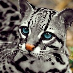 Wild Cats of South America OCELOT CAT ( Leopardus pardalis ) Mammal. The ocelot is an amazing . Big Cats, Crazy Cats, Cats And Kittens, Cute Cats, Small Wild Cats, Kitty Cats, Cats Meowing, Siamese Cats, Baby Animals