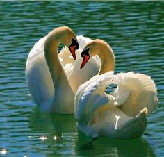 Swans ♡