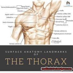 Surface anatomy landmarks of the thorax