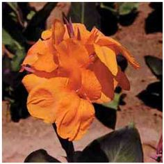 We are offers quality Wyoming Canna Bulbs at great prices, come see what we mean! Simply select from one of the many Pre Planned Gardens. Canna Bulbs, Bulbs For Sale, Plants Online, Wyoming, Garden Plants, Flowers, Image, Gardening, Texture