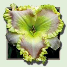 Hemerocallis 'Lycean' | From Smokeys Daylily Gardens