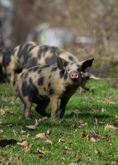 Spotted Piglets
